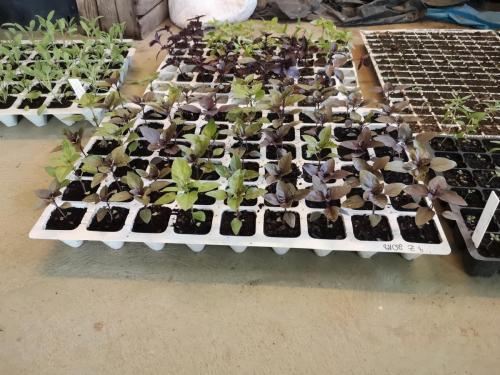 Rośliny przyprawowe w uprawie amatorskiej